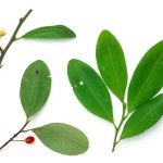 The Colombian coca leaf