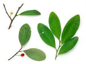 the-coca-plant-